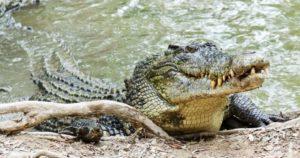 crocodiles_saltwater2-1030x542